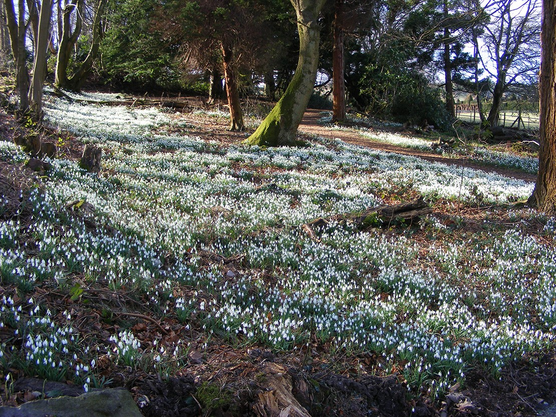 Snowdrops at Chirk Castle
