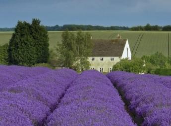 Britain's loveliest lavender fields | VisitBritain