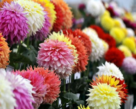 Dahlia show Harrogate Autumn Flower Festival, Harrogate, UK