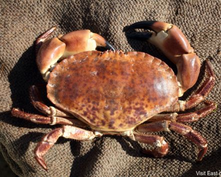 Cromer Crab, caught off the Northern coast of Norfolk near the village of Cromer.