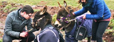 Dinky donkey walks at Good Day Out, miniature donkey walking experience. Brecon Beacons, Wales.