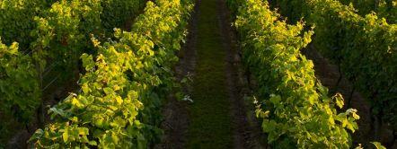 Nyetimber vineyard at sunset
