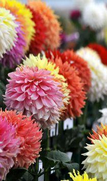 Dahlia show Harrogate Autumn Flower Festival, Harrogate, UK