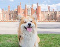 Corgi hond voor Hampton Court Palace