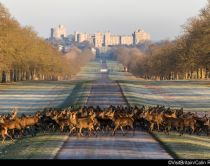 Castello di Windsor sullo sfondo con cervi in primo piano