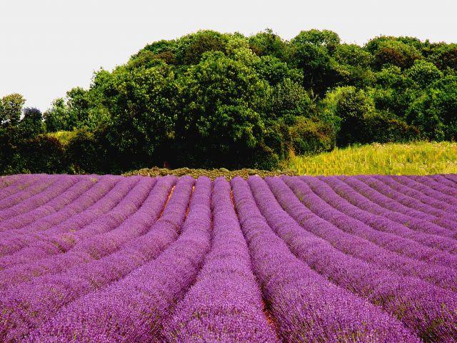 Lavender fields, Norfolk