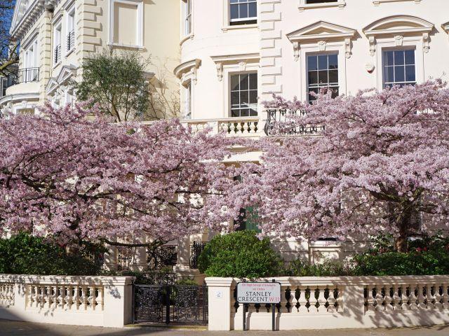 Arbres en fleurs devant une maison sur Stanley Crescent, Notting Hill, Londres.
