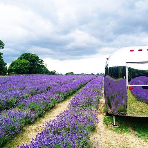 Run through lavender fields