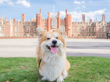 Marcel, Le Corgi sitting on grass outside Hampton Court, London, England.