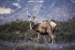 Red deer stag in Glencoe. Credit: VisitScotland/Paul Tomkins