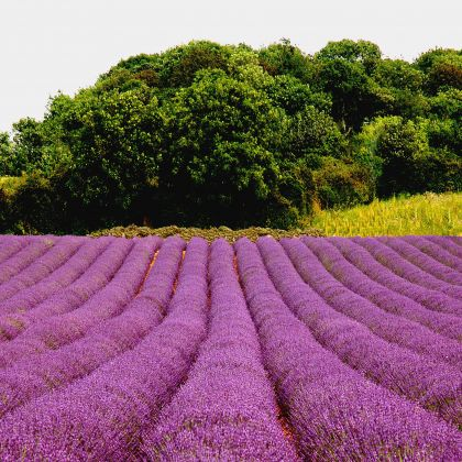 Lavender fields, Norfolk