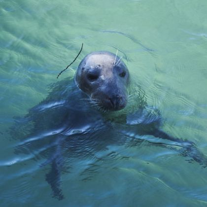 A seal in the clear blues waters of south west England
