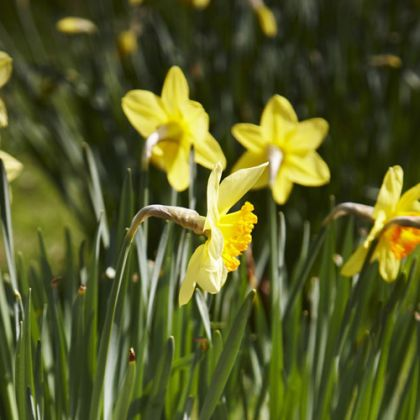 Narcissen (daffodils), de nationale planten van Wales