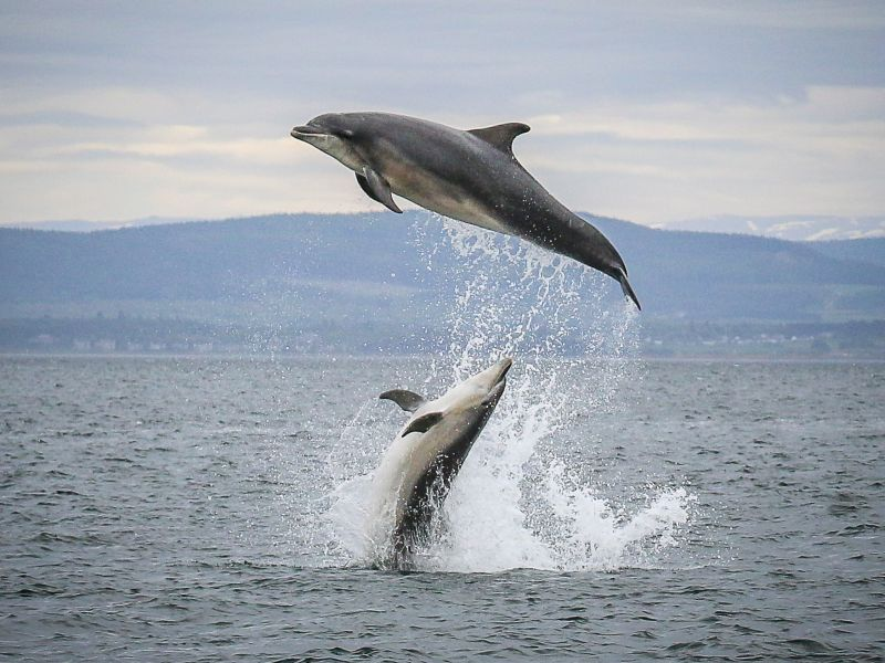 Dolphins leaping out of the water in the Moray Firth, Scotland.