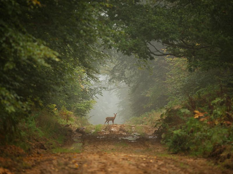 A deer on a path in Savernake Forest, Wiltshire, England.