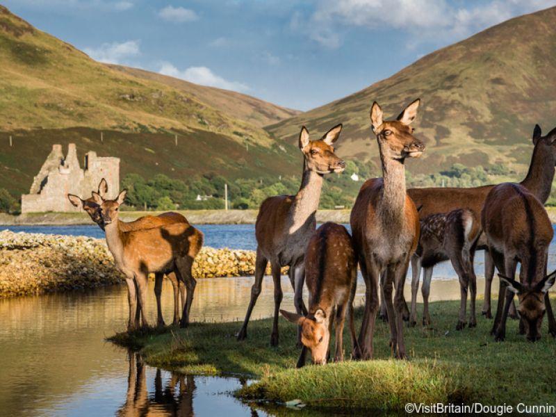 Deer at Lochranza, Scotland. VisitBritain/Dougie Cunningham