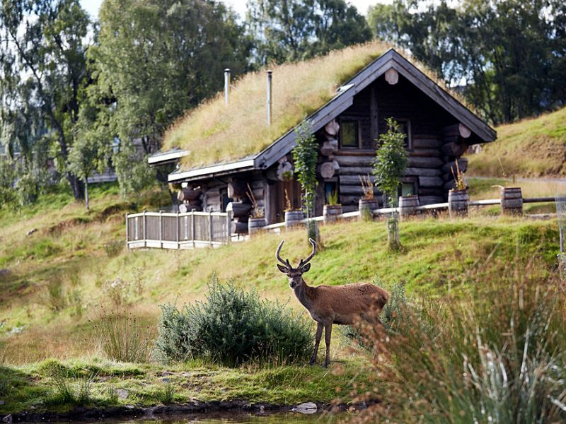 Wild red deer near log cabin in the Scottish Highlands.
