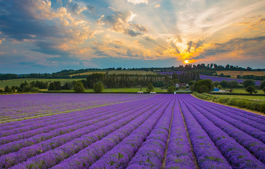 Castle Farm Kentish Lavender