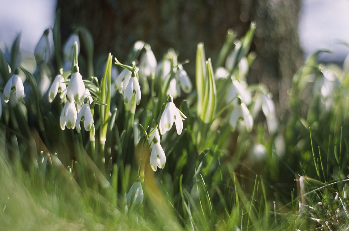 How to look snowdrops 16