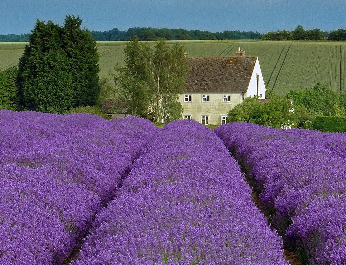 Britain's loveliest lavender fields | VisitBritain