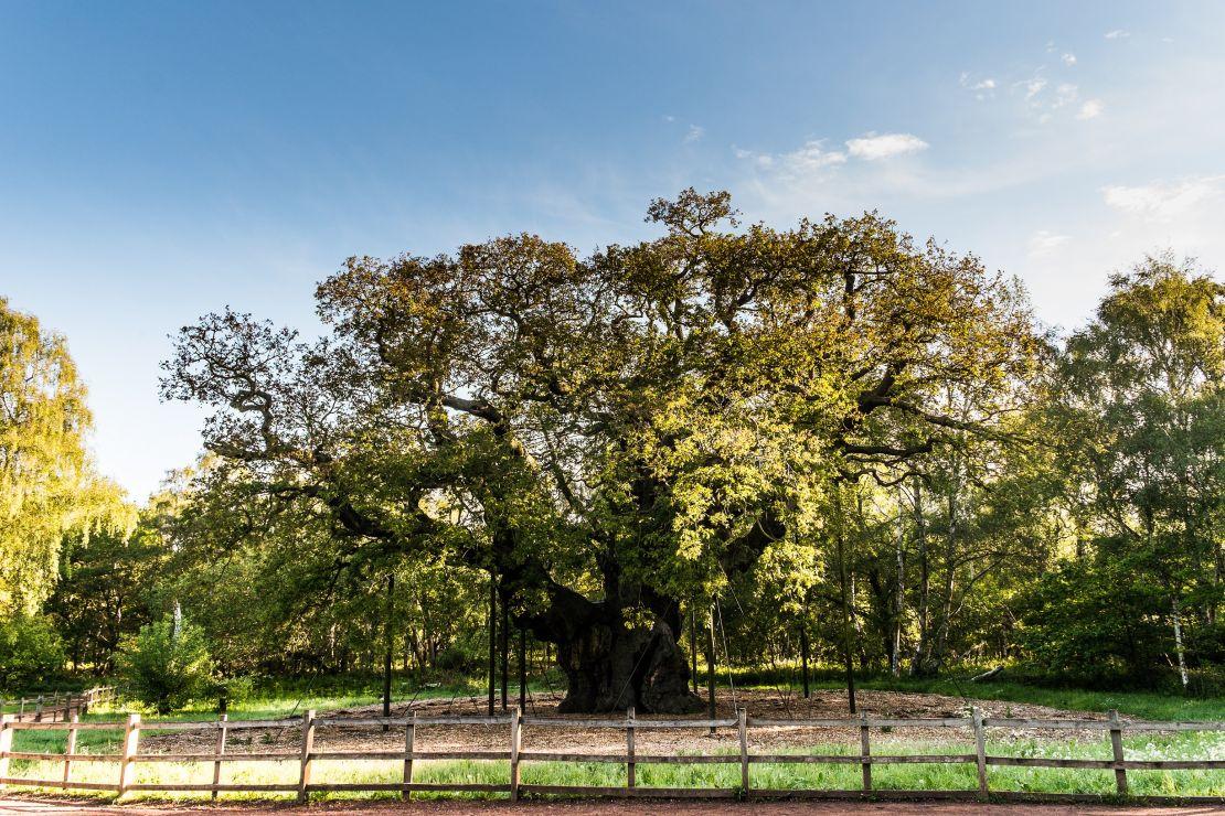 The Major Oak Tree in Sherwood Forest, Nottingham