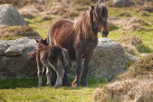 Dartmoor pony (c) Miles Wolstenholme