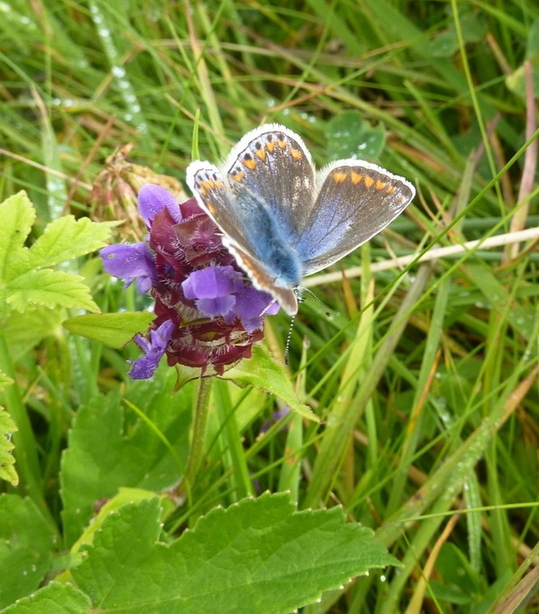 Butterfly, North Uist