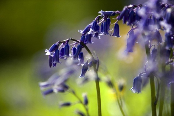 Bluebell (Hyacinthoides non-scriptus) ©National Trust Images/John Millar