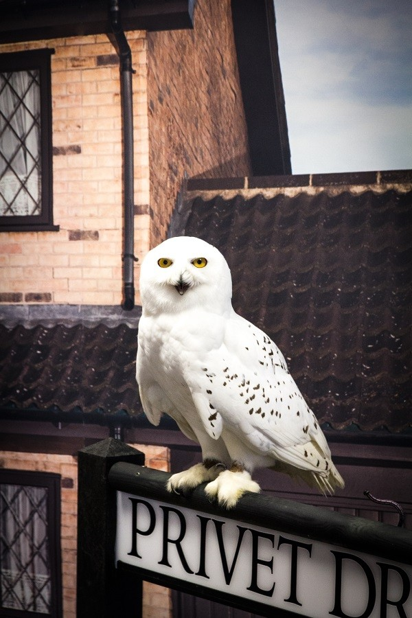 Hedwig the owl from the Harry Potter movies