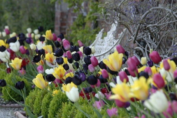 Tulips at Sizergh, ©National Trust Images Val Corbett