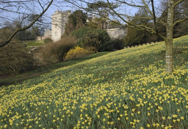 Wild daffodils at Sizergh, ©National Trust Images Val Corbett